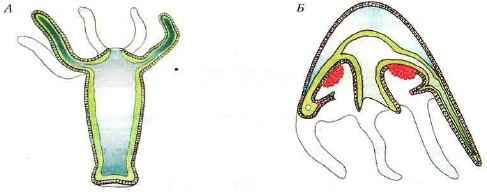 Схемы строения кишечнополостных животных