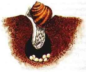 яйца виноградной улитки фото