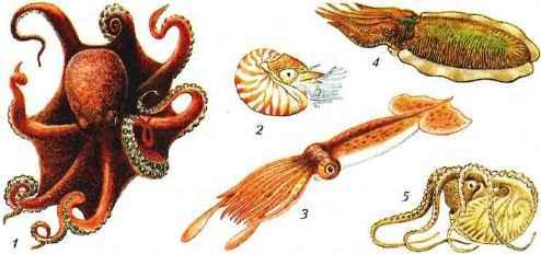 Разнообразие головоногих моллюсков