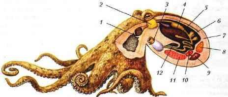 Внешний вид и внутреннее строение осьминога