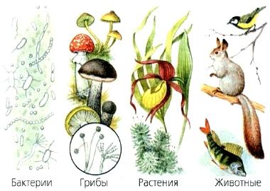 Царства природы растенияживотныегрибы 1 имеют листья, стебли, цветы,плоды с семенами,корни2