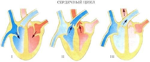 Строение и работа сердца человека. Его основные функции